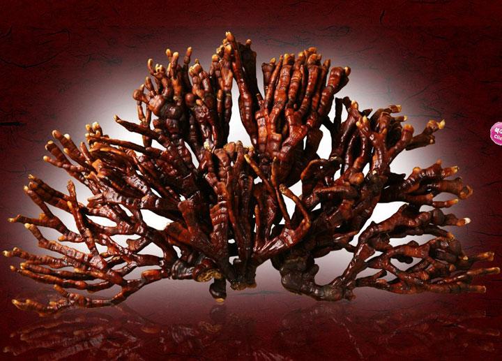 Nấm-linh-chi-sừng-hươu-Hàn-Quốc