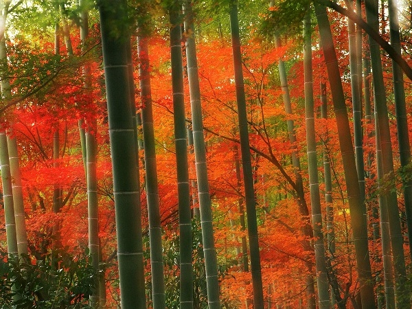 Khám phá rừng tre Sagano tuyệt tác thiên nhiên của Nhật Bản