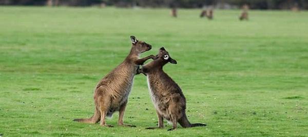 Đảo Kangaroo thiên đường ẩm thực mới ở Úc