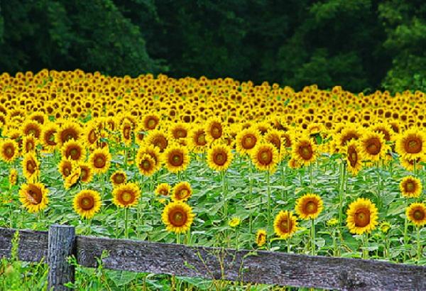 Ngắm cánh đồng hoa hướng dương rực rỡ ở Thái Lan