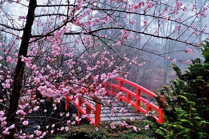 Cherry-Blossom-Festival-Japan