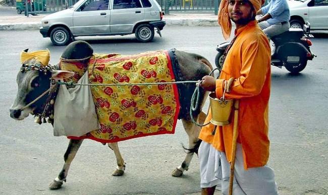 Bò ở Ấn Độ