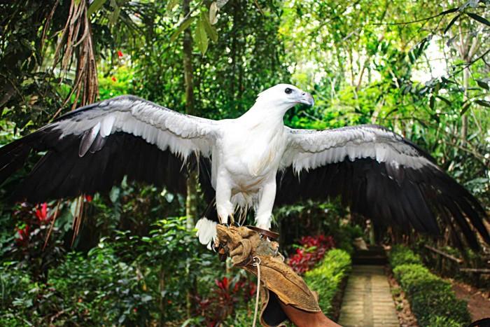 Chim đại bàng - một trong những biểu tượng Davao