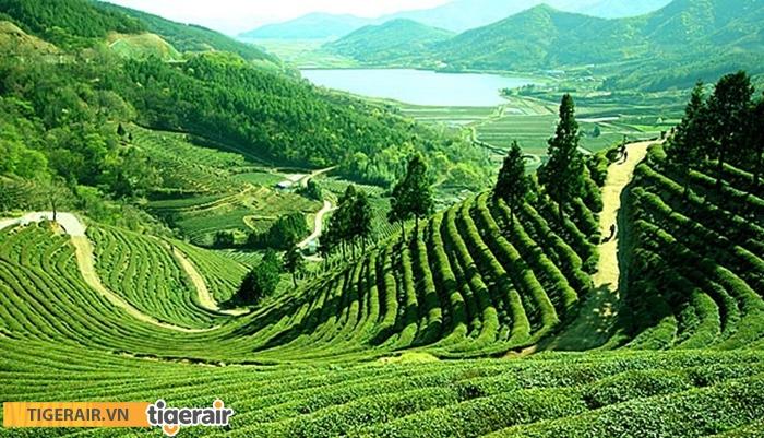 Cánh đồng chè Sylhet